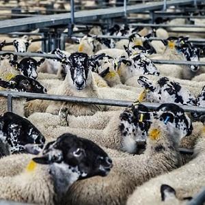 La ganadería nacional toma impulso y usa sellos de seguridad