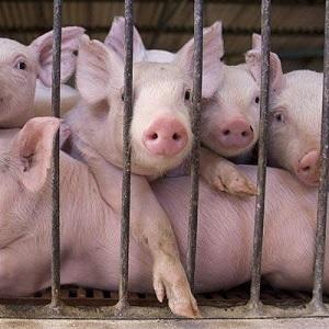 México Diversifica Importaciones de Cerdo