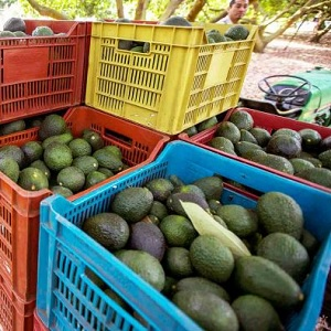 Michoacán es Líder en Producción Agrícola